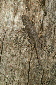Great basin Fence Lizard - Scelophorus occidentalis longipes at Fort Tejon, California (2006/03/22)