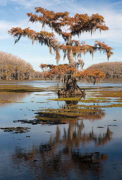 Caddo Fall Cypress