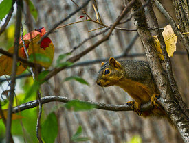 Squirrel_in_Ohio_2