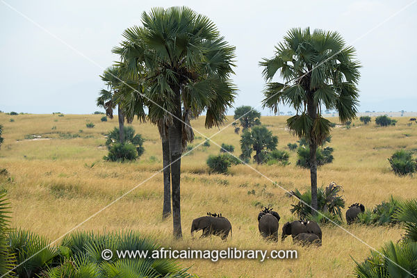 African elephants with piapiacs on their backs between borassus palms, Loxodonta africana africana, Murchison Falls National Park, Uganda