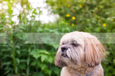 headshot of small cute tan lhasa apso dog with summer vegetation
