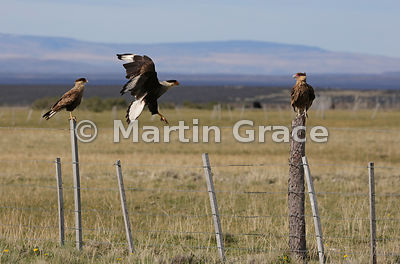 Adult Southern Crested Caracara (Southern Caracara, Carancho) (Caracara plancus) flies towards a juvenile (right), Patagonia, Chile