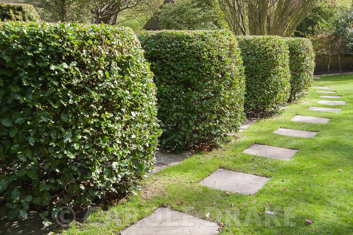Shaped holly bushes with simple paving slabs set into the lawn running alongside them. York Gate Garden, Adel, Leeds, Yorkshire