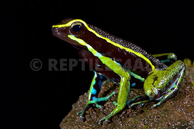 Three-striped poison dart frog (Ameerega trivittatus)	 photos