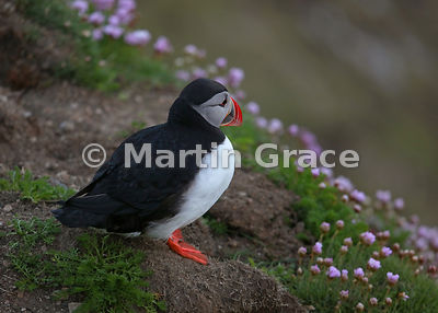 Atlantic Puffin (Fratercula arctica) glowing in the late evening light, Sumburgh Head (RSPB), Mainland South, Shetland