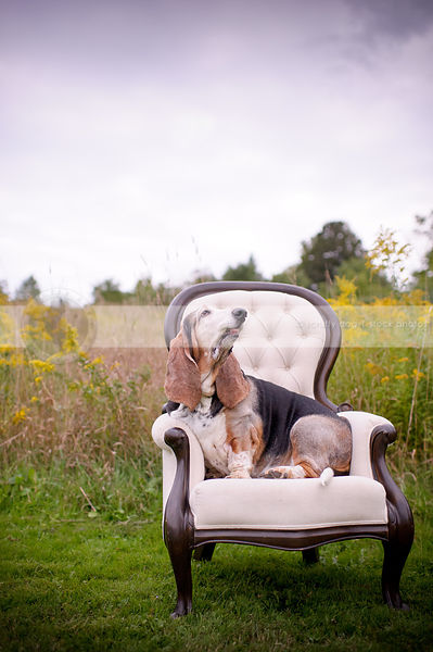 tricolor basset hound dog looking skyward sitting on chair outside