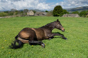Exracehouse thoroughbred rolling in pasture, North Yorkshire, UK.