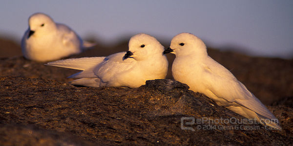 Snow Petrels on Rock