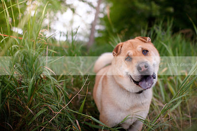 portrait of curious dog tilting head with expression in grasses