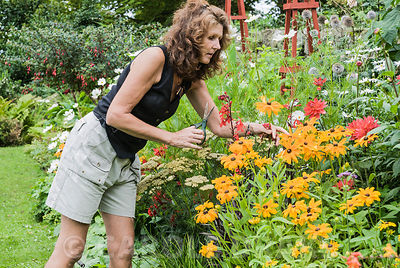 Christine Russell deadheading plants in the hot border. The Shute, nr Ventnor, Isle of Wight, UK