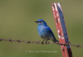 Mountain Bluebird, Male