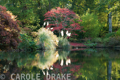 Top pond with red acer and clumps of flowering pampas grass. Exbury Gardens, Exbury, Hants, UK