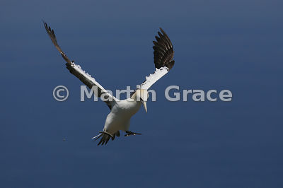 Flying Adult Northern Gannet (Morus bassanus) preparing to land, Bempton Cliffs (RSPB), East Riding of Yorkshire, England: Image 4 of a sequence of 5