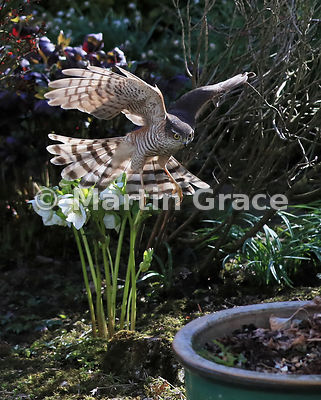 Juvenile male Eurasian Sparrowhawk (Accipiter nisus) in flight in a domestic garden, Lake District National Park, Cumbria, England