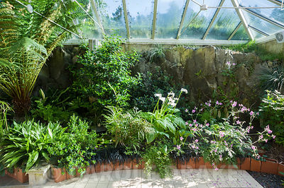 Conservatory built between the house and the rocky outcrop behind it, is home to a range of tender species including Geranium palmatum, arum lilies, aspidistras and a tree fern, Dicksonia antarctica. Windy Hall, Windermere, Cumbria, UK