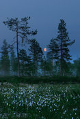 Moonrise over cotton grass field