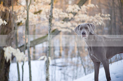 portrait of serious shorthaired grey dog standing in winter snow