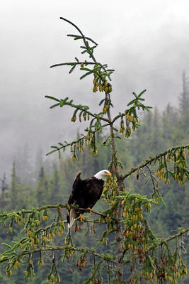 Bald eagle (Haliaeetus leucocephalus) flaring its wings atop a Sitka spruce (Picea sitchensis) tree. The Sitka shows a heavy yield of new cones in this photo taken in summer. Great Bear Rainforest, Nuxalk Territory, British Columbia