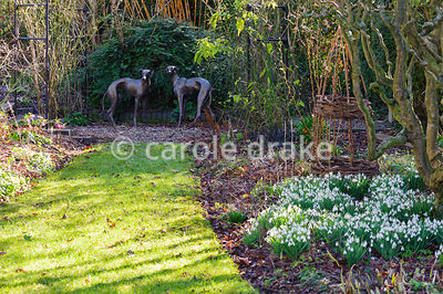 A pair of greyhounds form a focal point beyond a border with naturalized snowdrops at Windy Ridge, Little Wenlock, Shropshire, UK