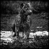8991-Hyena_in_the_mud_Laurent_Baheux