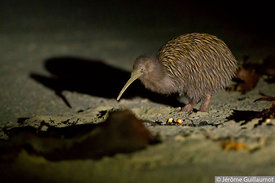 #4 Stewart island brown Kiwi - Stewart island - New Zealand