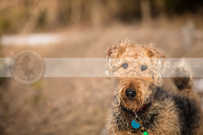 closeup photo of handsome groomed airedale terrier standing in field of dried grass
