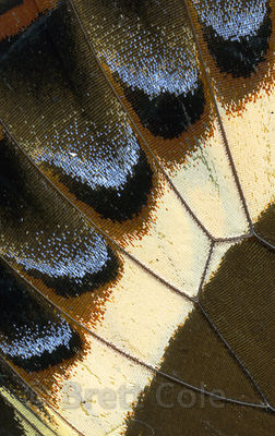 Close-up of a Swallowtail Butterfly wing, Monteverde Cloud Forest, Costa Rica