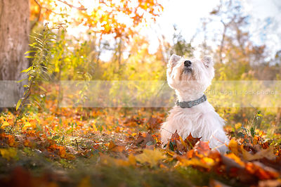 white terrier dog looking skyward in autumn sunshine