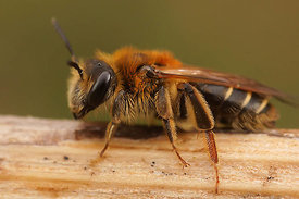 Andrena dorsata, female