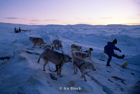 Naomi Uemura with dogs for sledge, North pole.