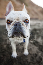 Close-up of White French Bulldog on Beach