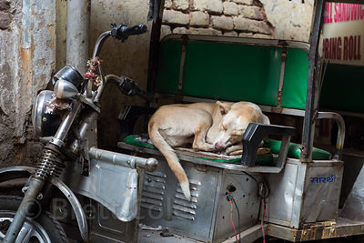 Street dog sleeping in an auto rickshaw, Delhi, India