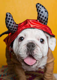 Close-up of Smiling Bulldog Puppy in Devil Costume
