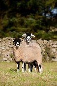 Swaledale ewe with gimmer lamb at foot.