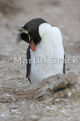Southern Rockhopper Penguin (Eudyptes chrysocome chrysocome) fast asleep standing up at the edge of the colony, Cape Coventry, Pebble Island