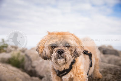 portrait of intense small lhasa apso dog staring from rocks with sky