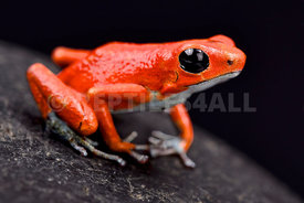 "Strawberry dart frog, Oophaga pumilio ""Quebrada sal"""