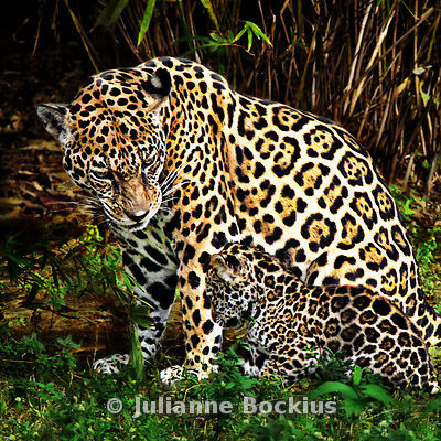 Jaguar Mother and Cub