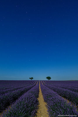 The Big Dipper lavender - Valensole - Alpes Haute Provence