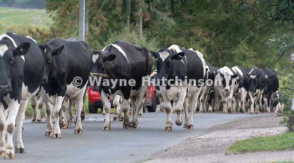 Farmer moving dairy cattle along a rural road for milking. Askrigg, North Yorkshire, UK.
