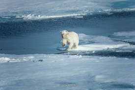 A polar bear walking on ice around Northeastern Svalbard.
