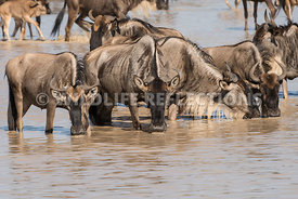 wildebeest_lake_crossing_sequence_02242015-21