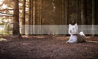 small groomed white dog licking lying in pine forest