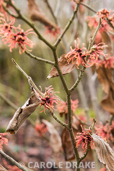 Hamamelis x intermedia 'Georges'. The Sir Harold Hillier Gardens/Hampshire County Council, Romsey, Hants, UK