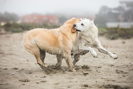 A White Dog Grabbing the Ear of a Yellow Dog While Playing on a Beach