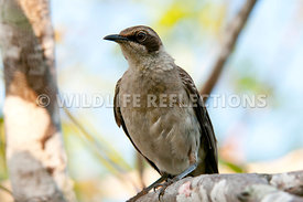 galapagos_mockingbird_close