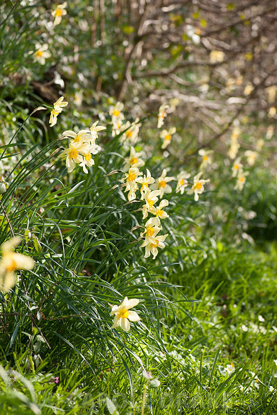 Narcissus 'Barrii Conspicuus' in Nelson's Field. Cotehele, Cornwall, UK