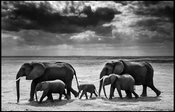 7505-Elephant_calf_between_adults_Kenya_2015_Laurent_Baheux