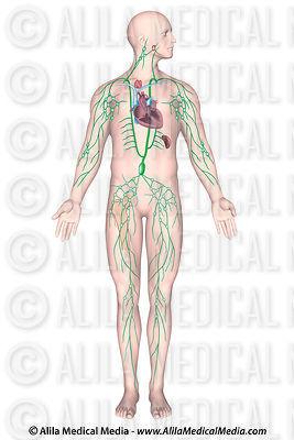 Alila Medical Media   Lymphatic    System    Images