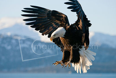 A bald eagle flying over water with mountains in the background.